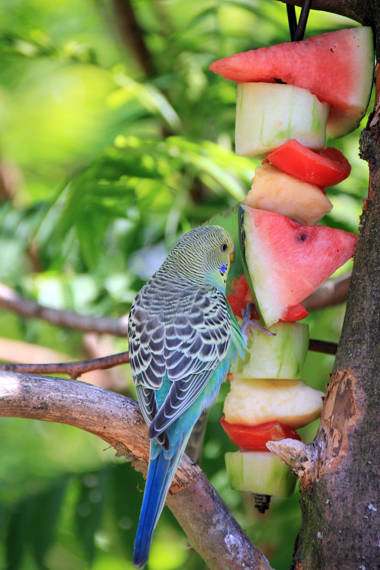 the healthiest diet for parakeets budgerigars i love. Black Bedroom Furniture Sets. Home Design Ideas