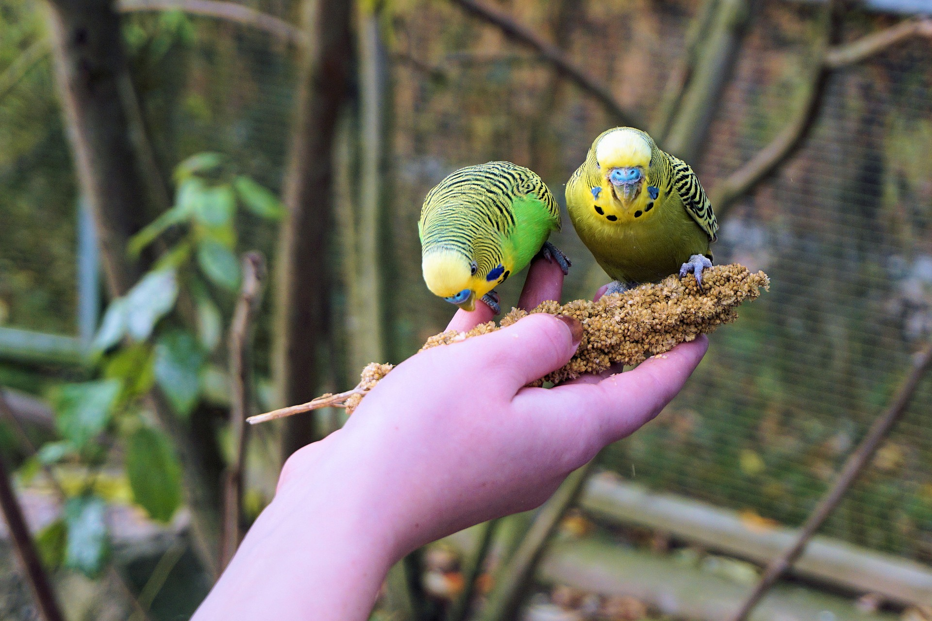 how to hand raise a budgie