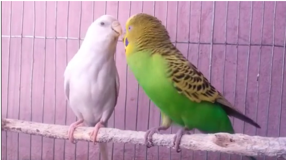 The Parakeet Budgie Mating Dance | I Love Parakeets